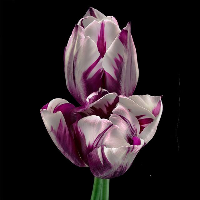 JF Tulip 77
