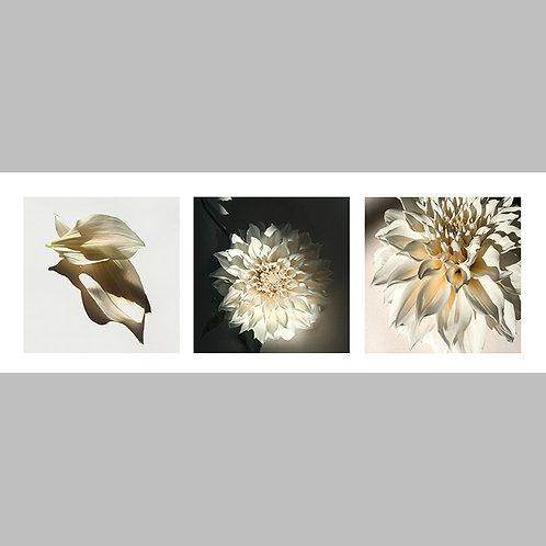 Triptycha SPECIAL Edtion - 37 JFSP White Dahlia