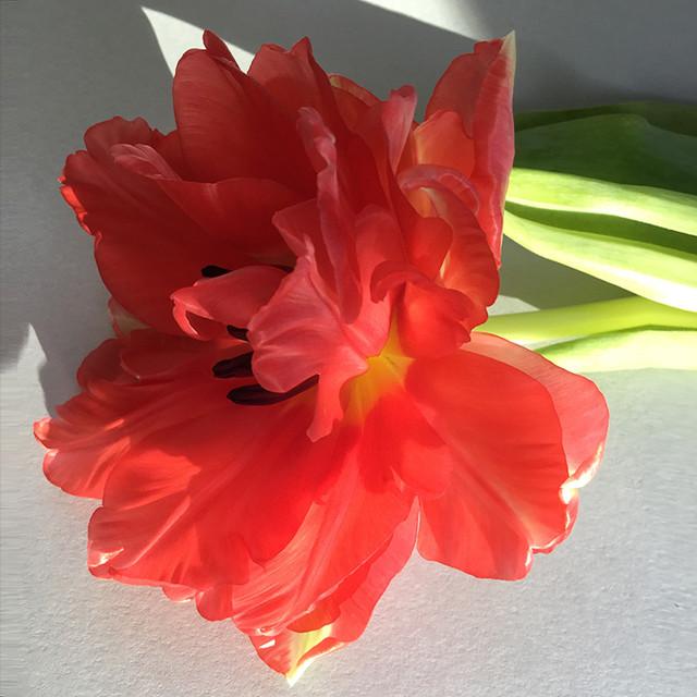 JF Tulip 67