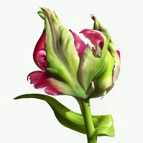 JF Tulip 33
