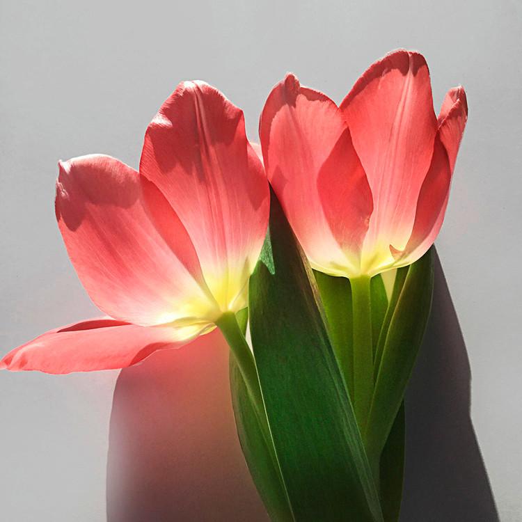JF Tulip 23