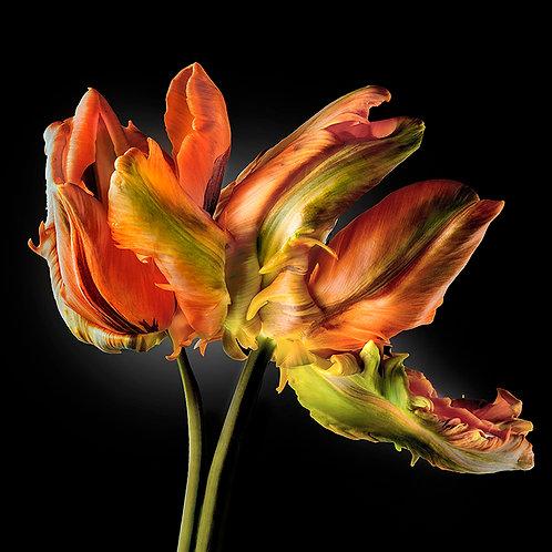 JF Tulip 05