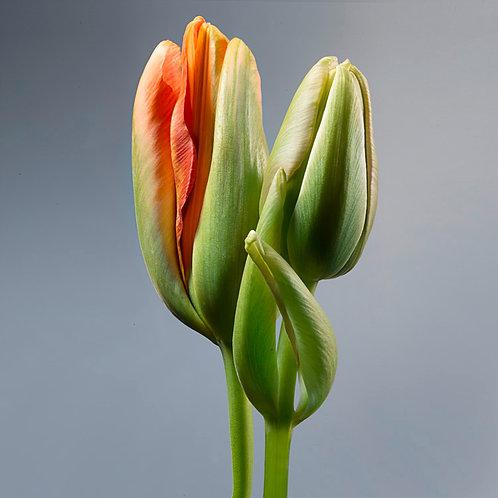 JF Tulip 24