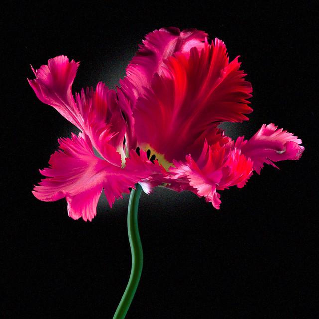 JF Tulip 09