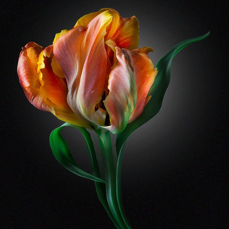 JF Tulip 04