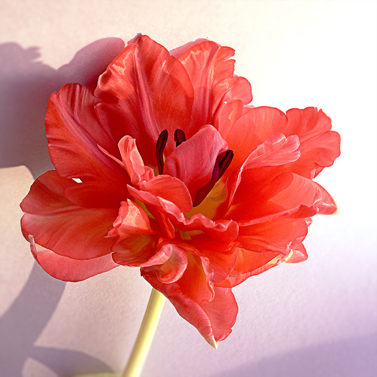 JF Tulip 66