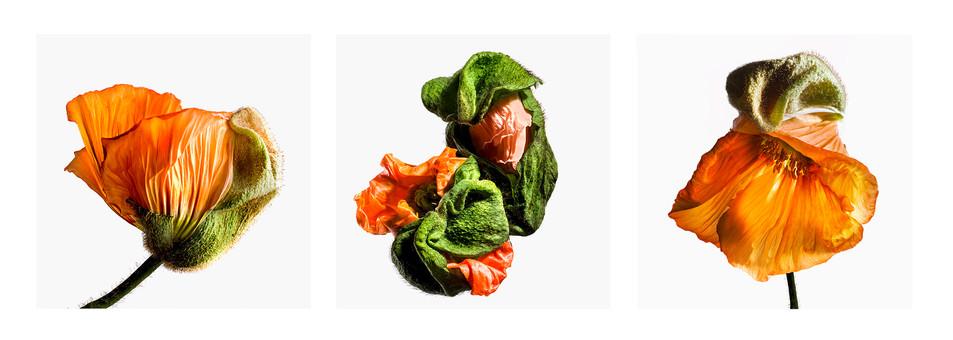 JF Triptichon 10 Orange Poppy