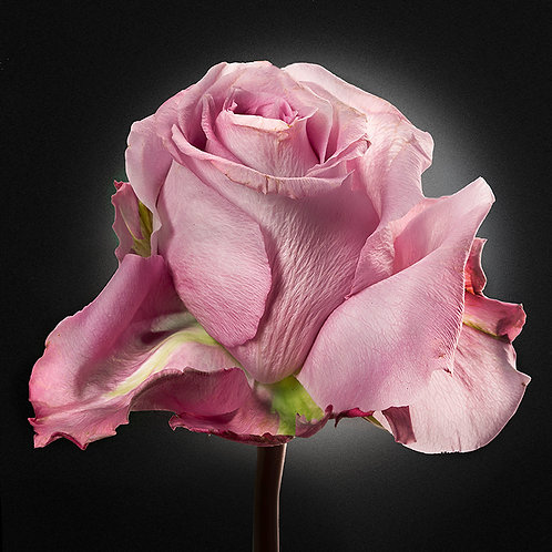 JF Rose 09