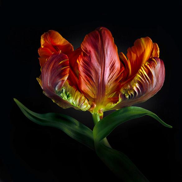 JF FlowerART Tulip 20
