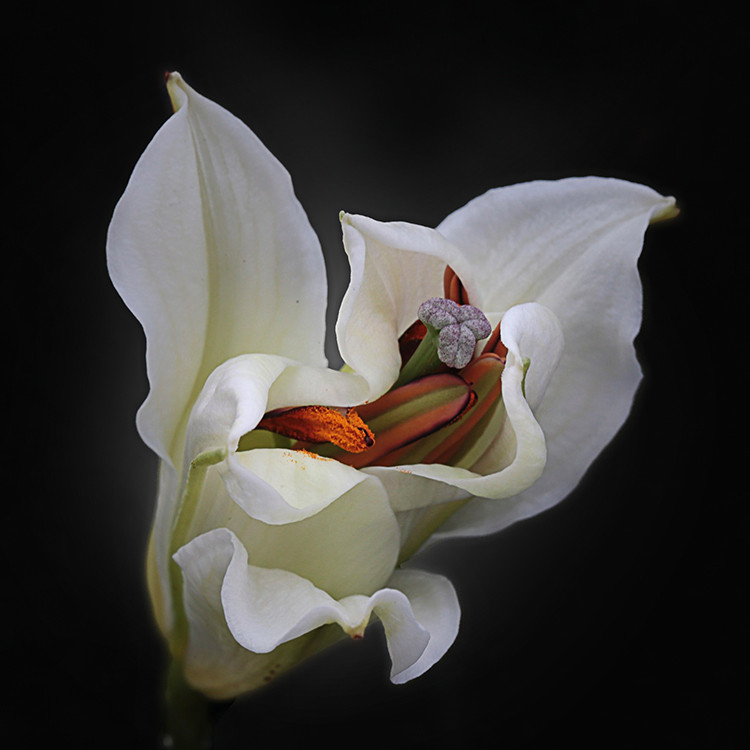 JF FlowerART Lily 34