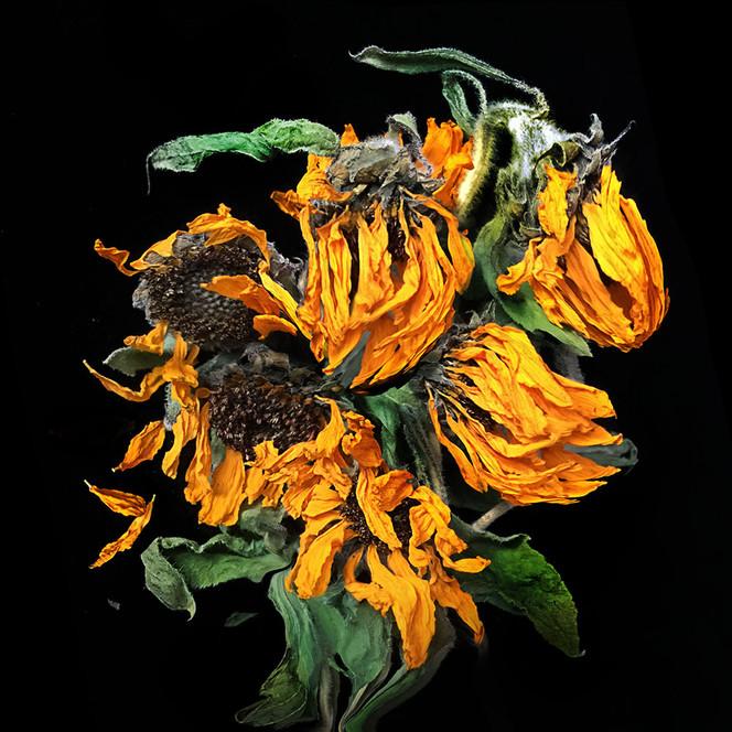 JF Sunflower 04