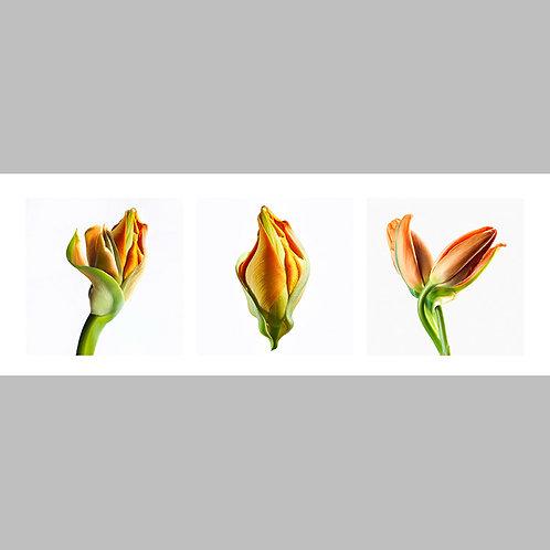 Triptycha SPECIAL Edtion - 24 JFSP Tulip orange