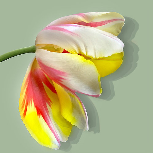 JF Tulip 63