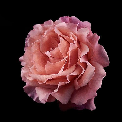 JF Rose 02