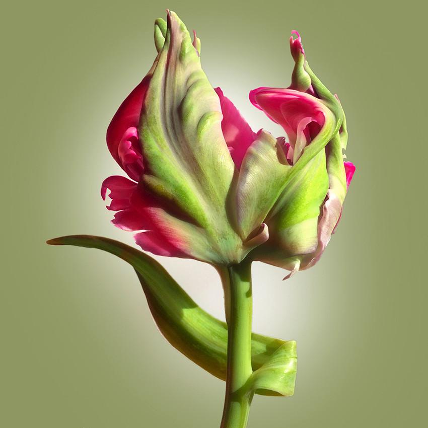 JF Tulip 71