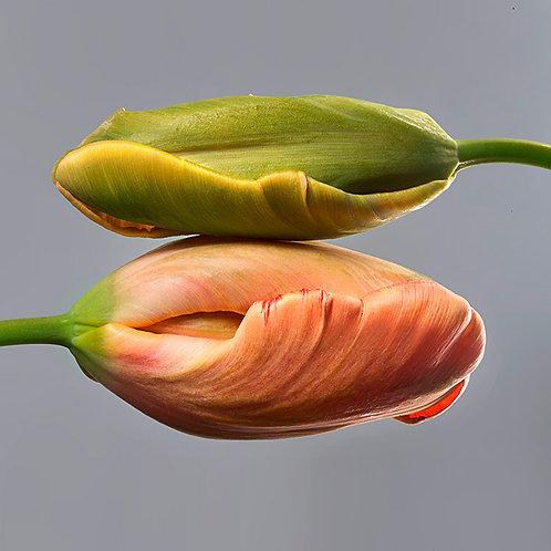 JF Tulip 26
