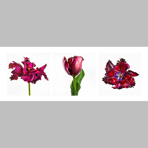 Triptycha SPECIAL Edtion - 31 JFSP French Tulip
