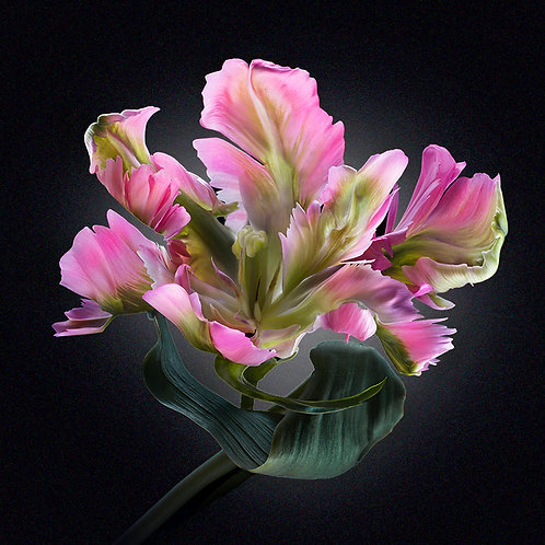 JF Tulip 12