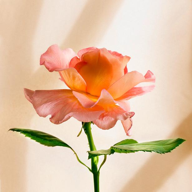 JF Rose 26