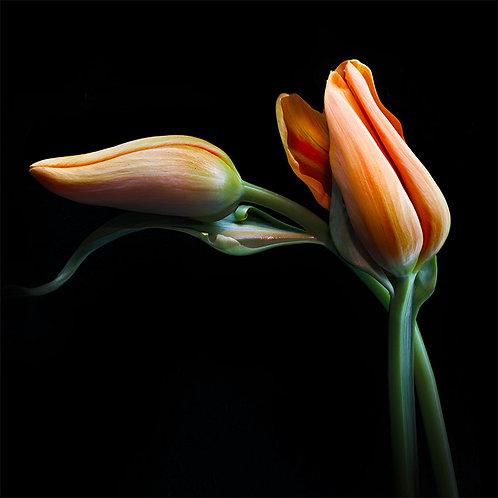 JF Tulip 37