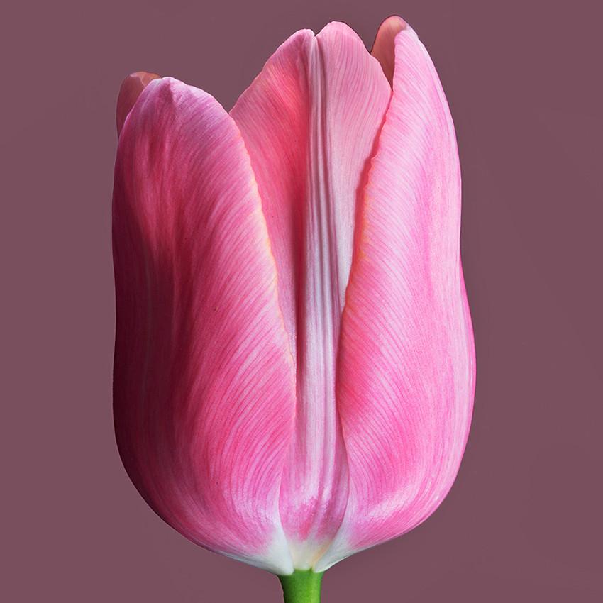 JF Tulip 75