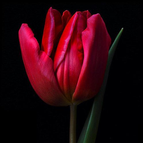 JF Tulip 56