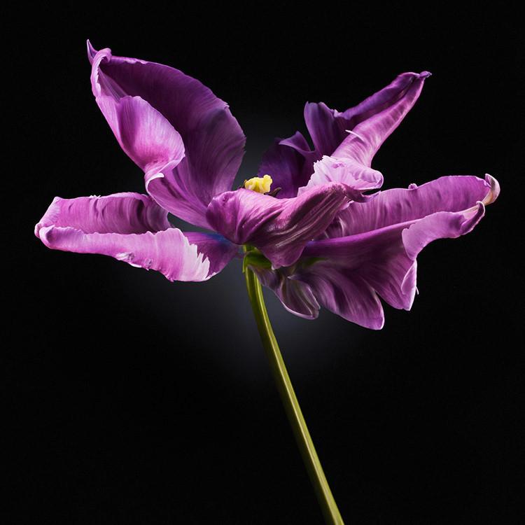 JF FlowerART Tulip 17