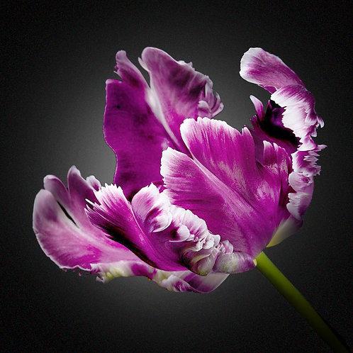 JF Tulip 15
