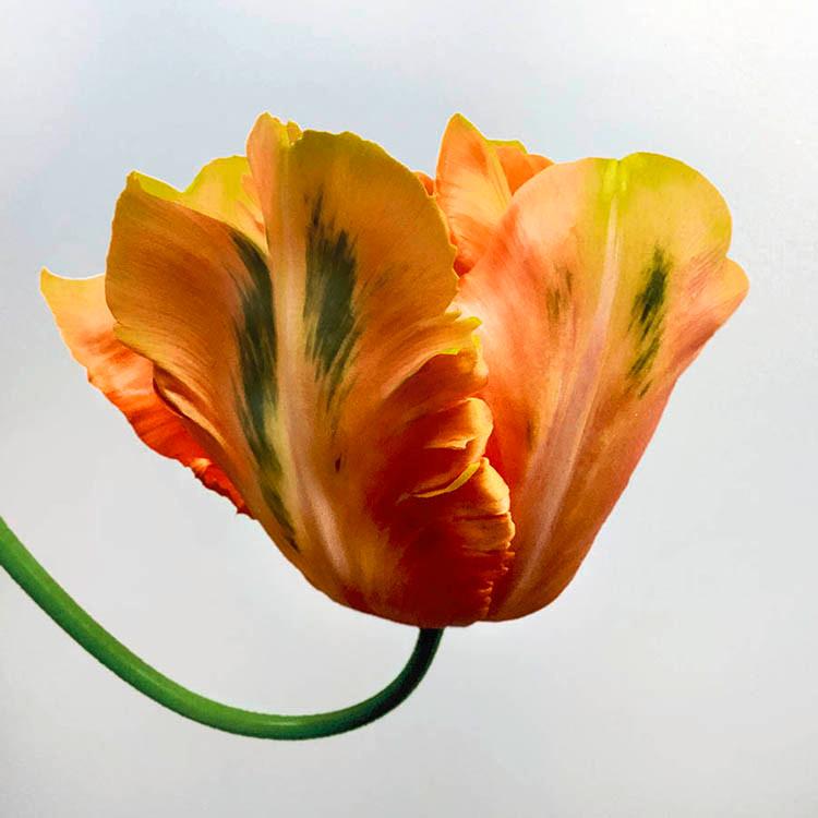 JF Tulip 06
