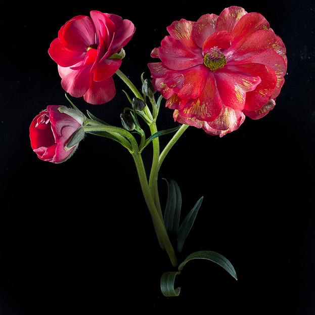 JF VB Ranunculus Asiaticus 01