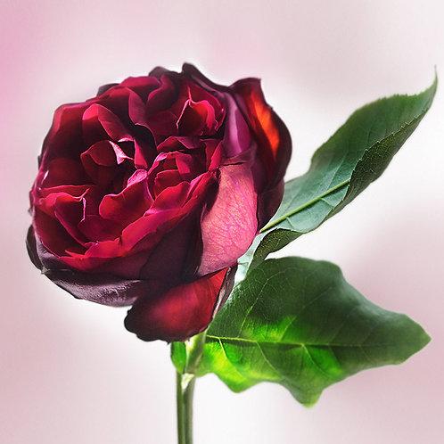 JF Rose 48