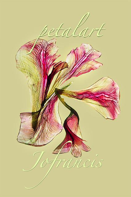 JF Tulip PA 03