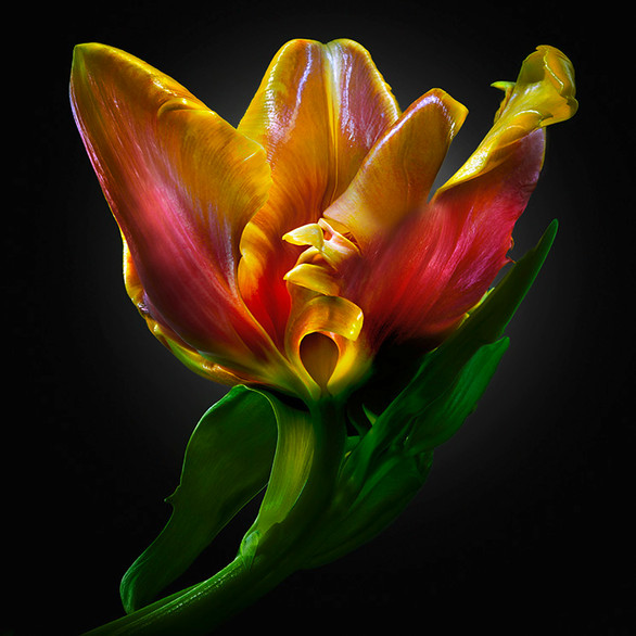 JF FlowerART Tulip 24