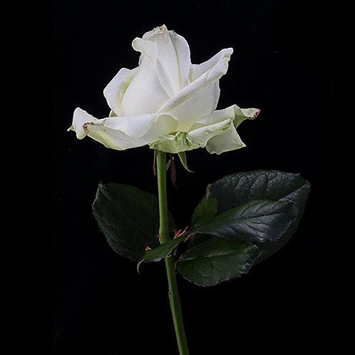 JF Rose 04