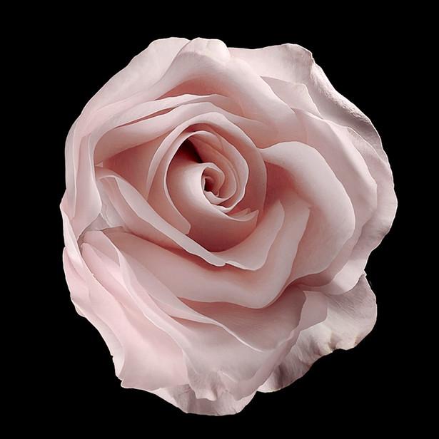 JF Rose 03