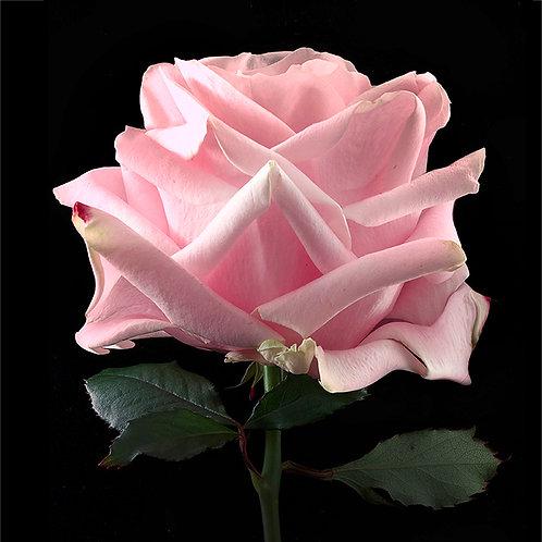 JF Rose 10