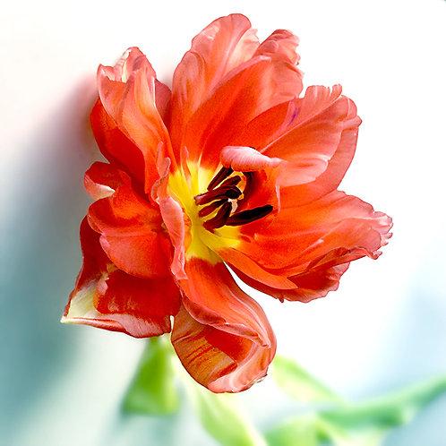 JF FlowerART Tulip 26