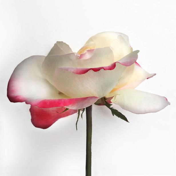 JF Rose 46
