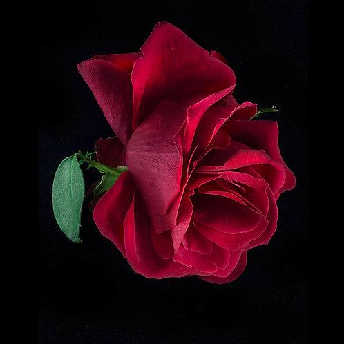 JF Rose 13