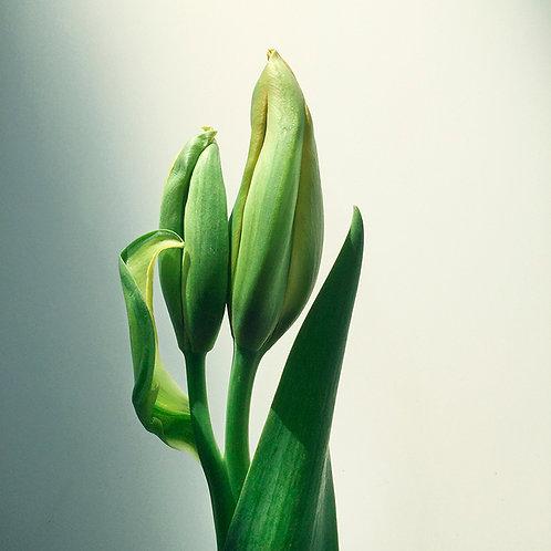 JF Tulip 52