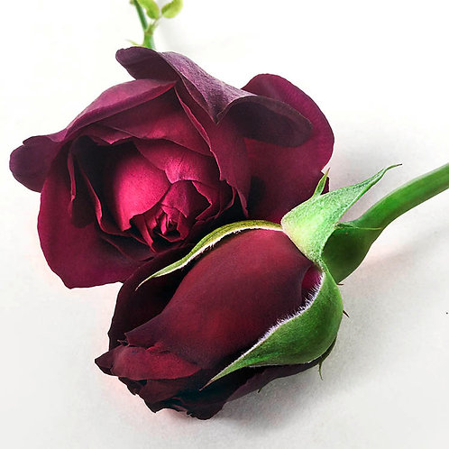 JF Rose 39