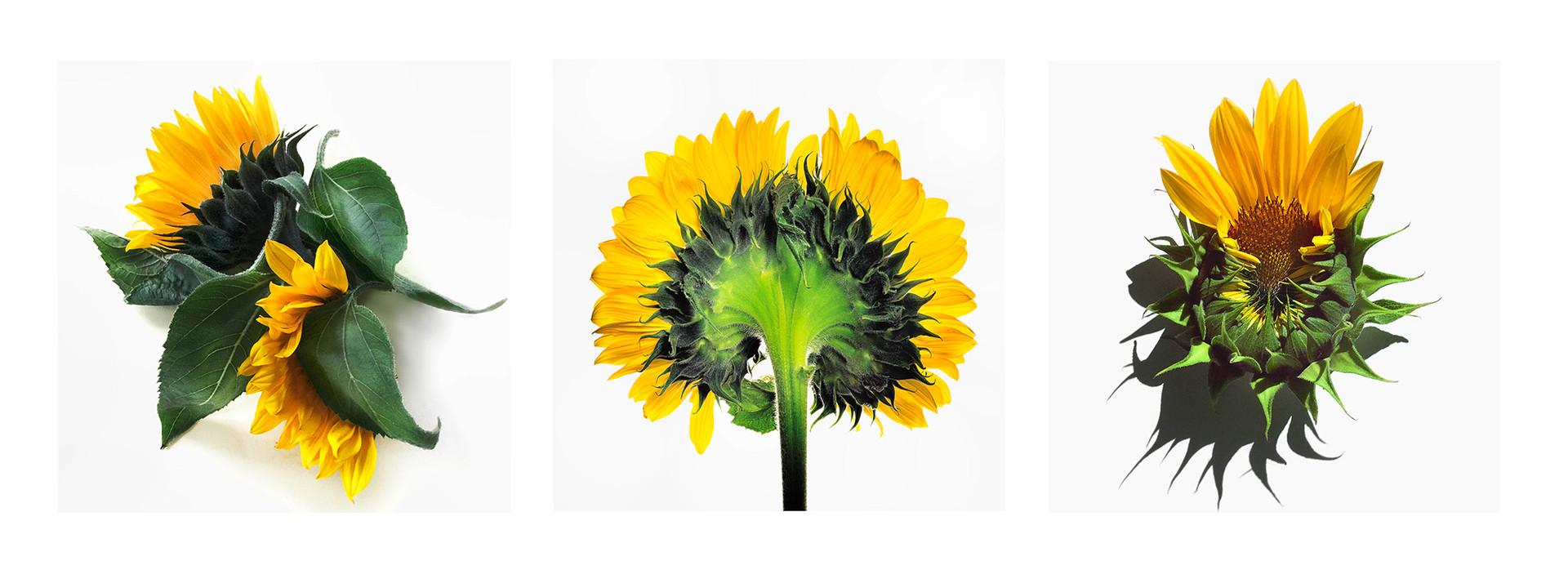 JF Triptichon 16 Sunflower
