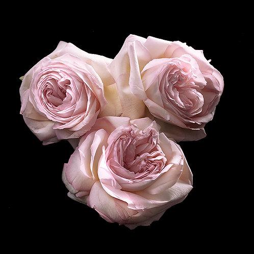 JF Rose 08