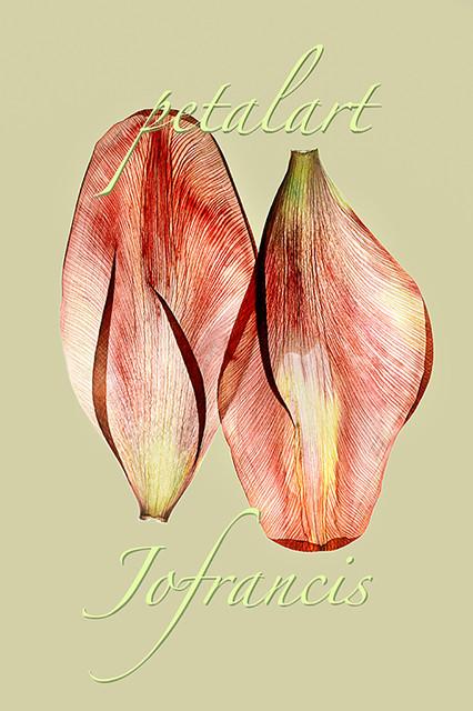 JF Tulip PA 04