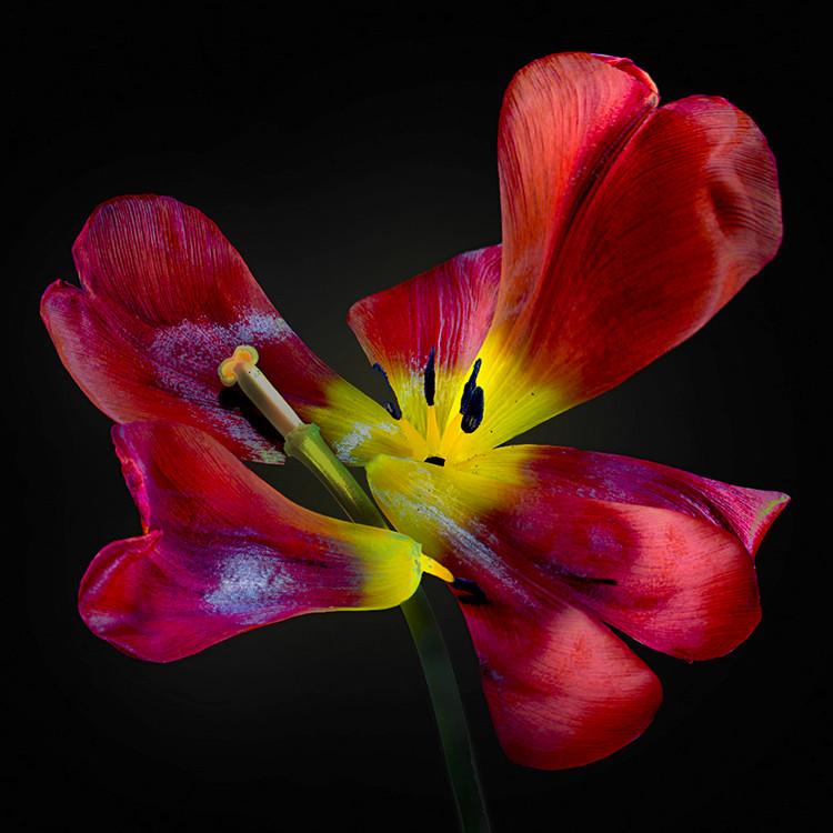 JF FlowerART Tulip 03