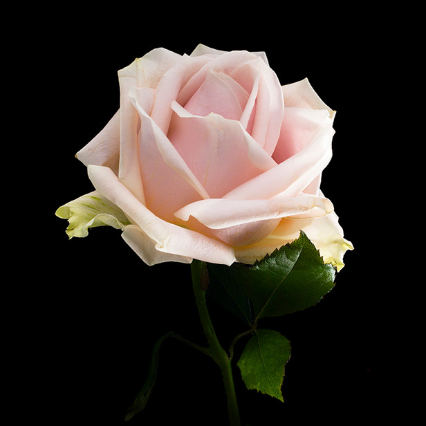 JF Rose 21