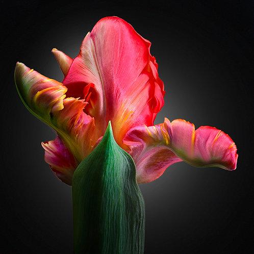 JF FlowerART Tulip 13