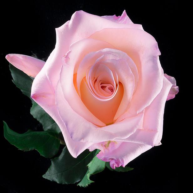 JF Rose 22