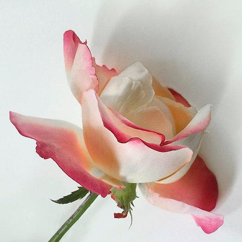 JF Rose 57
