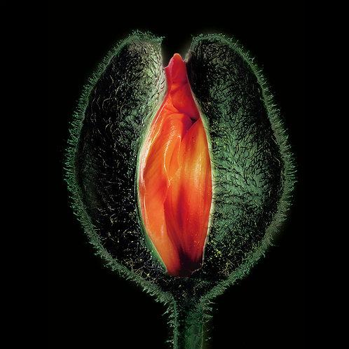 JF FlowerART Poppy34